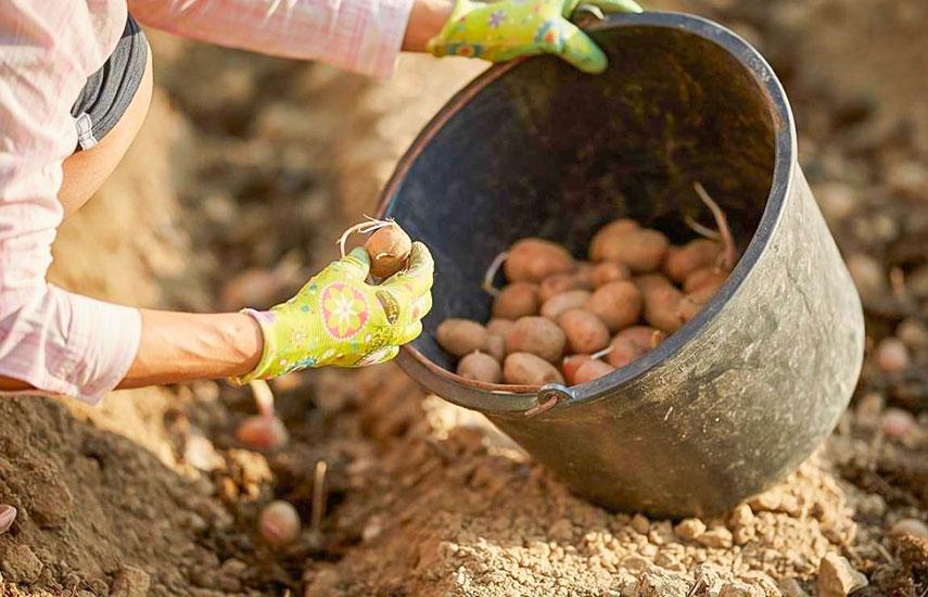 8 секретів відмінного врожаю картоплі