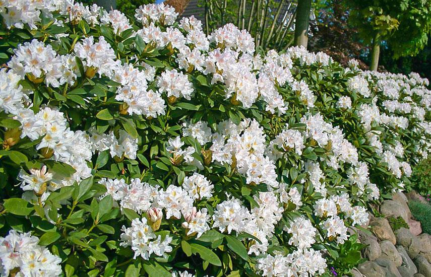 садити рододендрони навесні