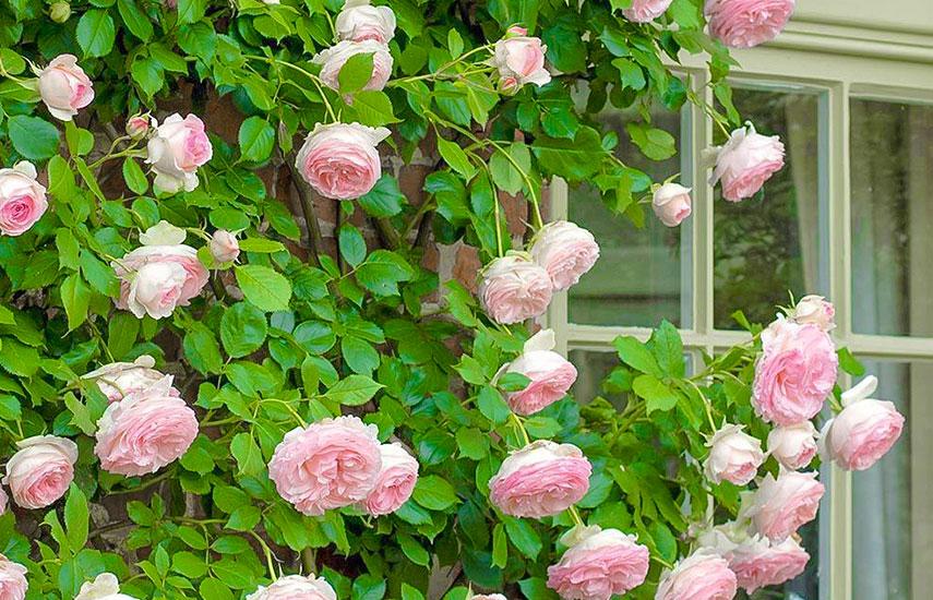 коли навесні краще садити троянди