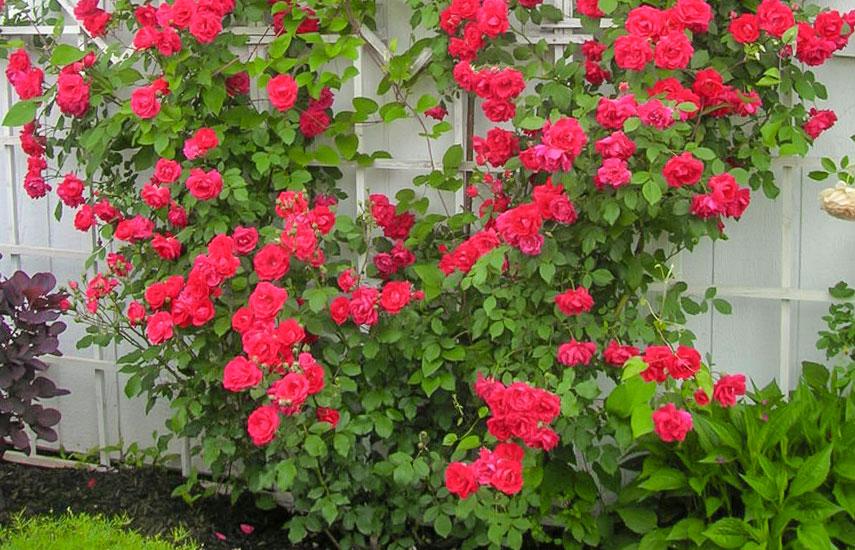 плетисті троянди догляд