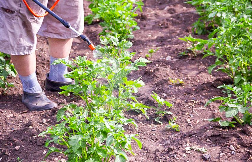 секрети вирощування картоплі
