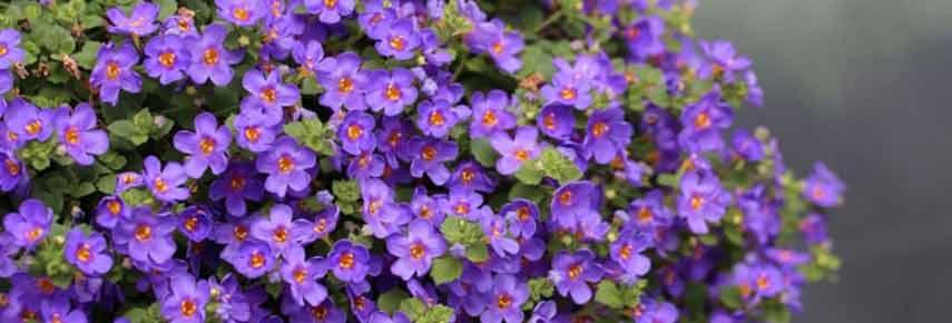 Лучшие ампельные растения фото 12
