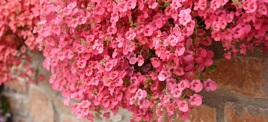 Лучшие ампельные растения фото 11