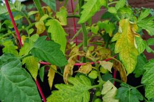 Желтеют листья у помидор