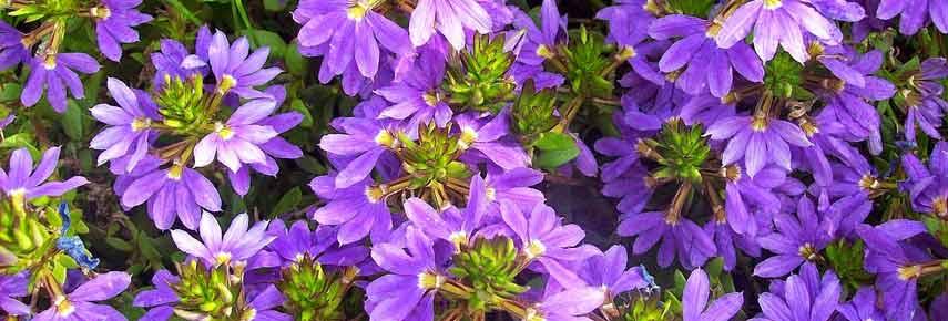 Лучшие ампельные растения фото 13