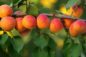 Коли плодоносить абрикос з кісточки