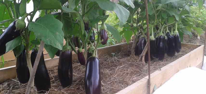 Інструкція по вирощуванню баклажанів: від вибору насіння до висадки у відкритий ґрунт фото 4