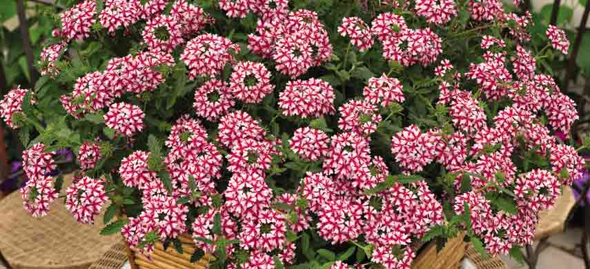 Лучшие ампельные растения фото 5