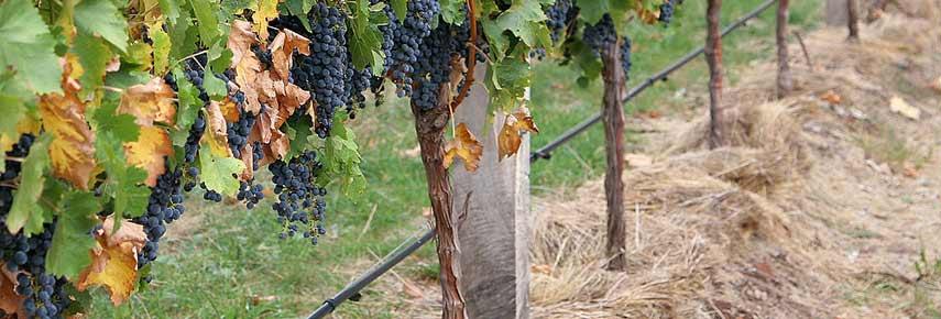 мульчирование винограда на зиму