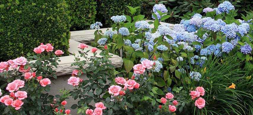 гортензии с розами в саду