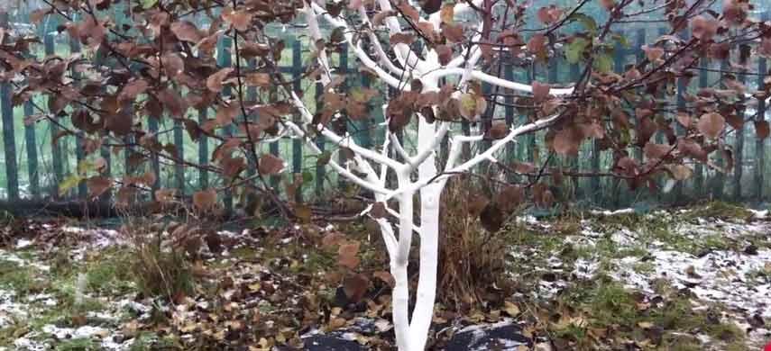 Як підвищити морозостійкість плодових дерев фото 2