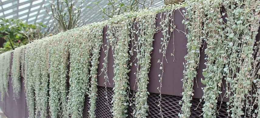 Лучшие ампельные растения фото 6
