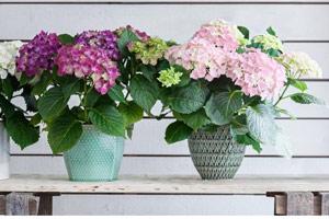 Як відрізнити кімнатну гортензію від садової