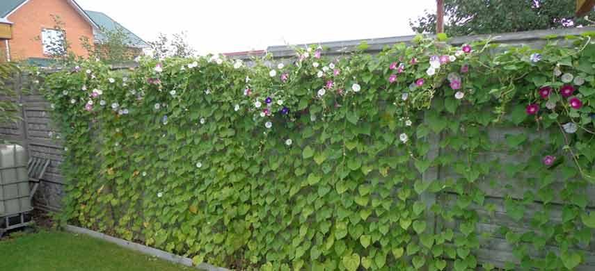 Что посадить на даче, чтобы отгородиться от соседей 1