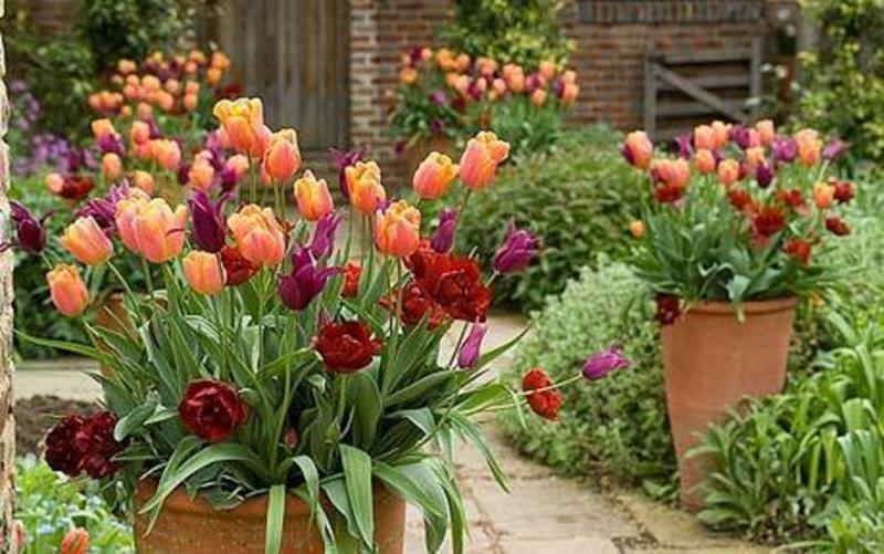 патіо з тюльпанами