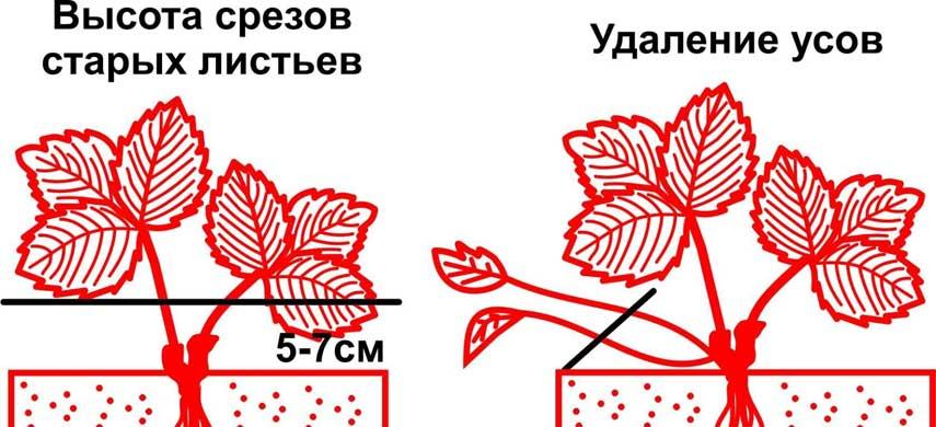 Осенняя обрезка клубники