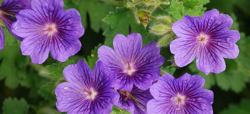 Лучшие ампельные растения фото 9