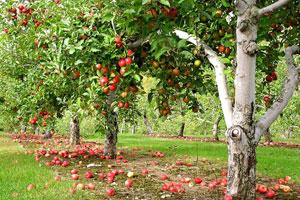 Як підвищити морозостійкість плодових дерев фото 1