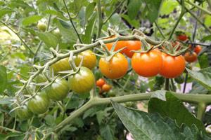 Коли можна знімати помідори на дозрівання?