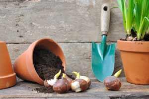 Як пересадити тюльпани на інше місце