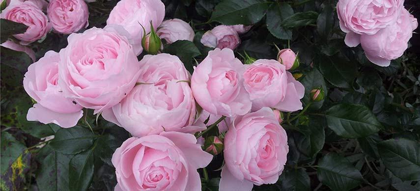 розы для начинающих