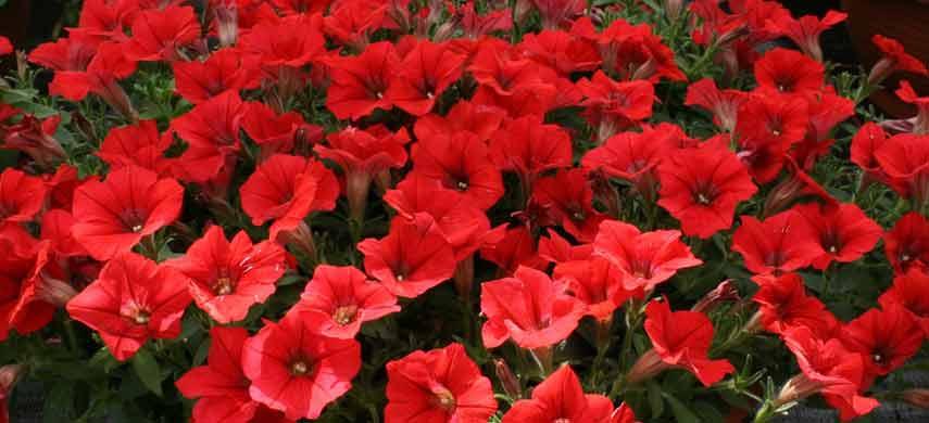 Лучшие ампельные растения фото 3