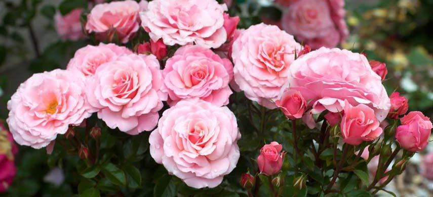 неприхотливые розы флорибунда