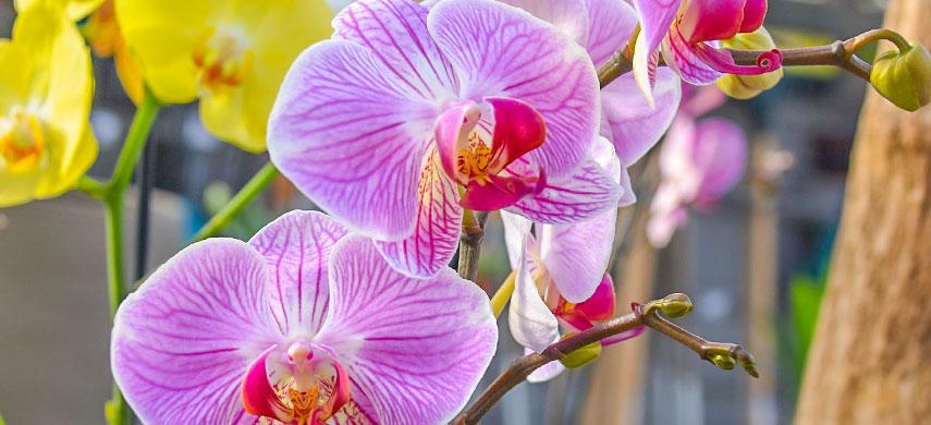 Як вирощувати орхідеї