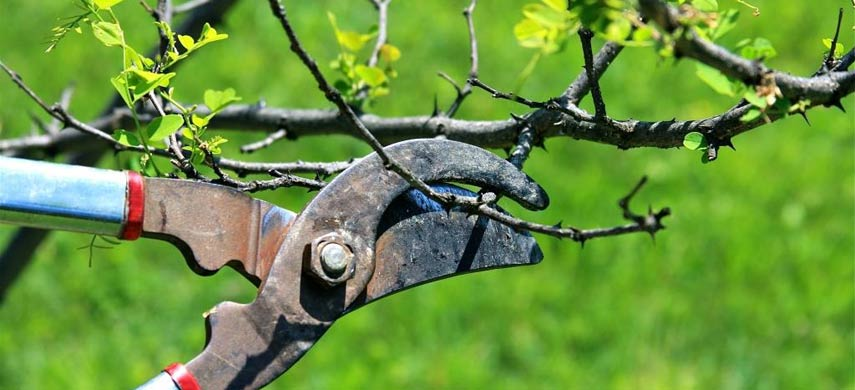 Осеняя обрезка плодовых деревьев