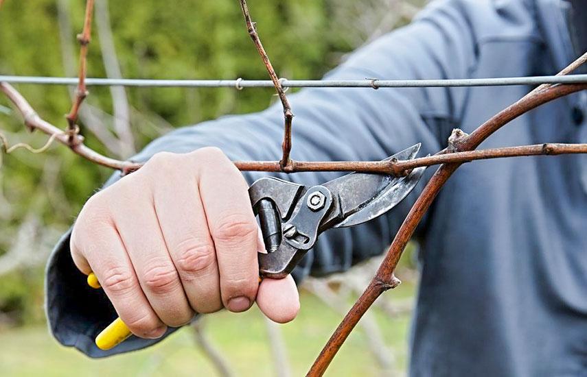 Правила обрізки винограду