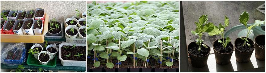 Условия выращивания рассады