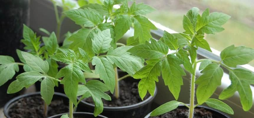 Выращивание рассады томатов