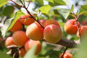 Абрикос скидає плоди що робити
