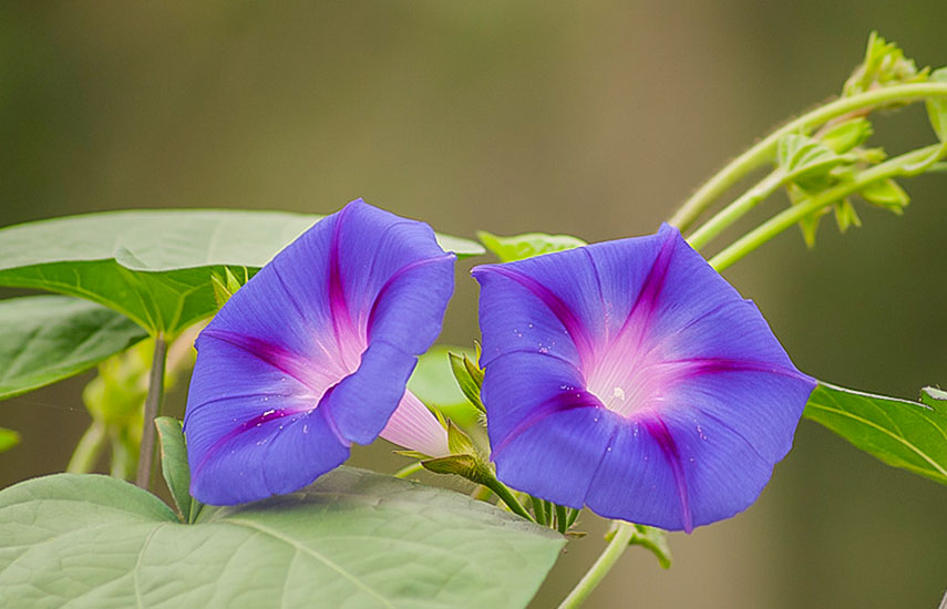 В'юнкі рослини для забору, альтанок і стін - вибираємо серед однорічників №1