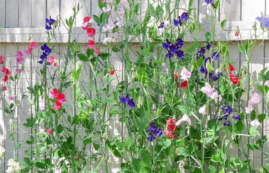 В'юнкі рослини для забору, альтанок і стін - вибираємо серед однорічників №2