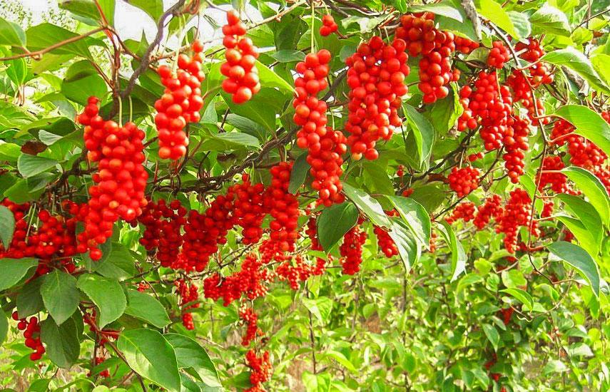 В'юнкі рослини для забору, альтанок і стін - вибираємо серед однорічників №3