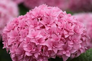чем поливать гортензию для розового цвета