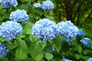 как покрасить гортензию в голубой
