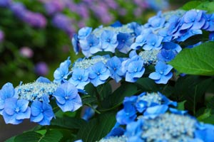 как покрасить гортензию в синий