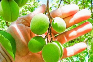 почему опадают зелёные абрикосы