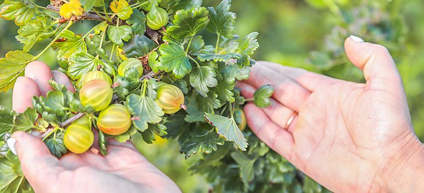 Плодові дерева та кущі: що саджати восени і як це робиться №4