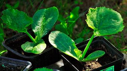 Посадка кабачков семенами и рассадой