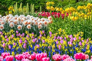 Что посадить рядом с тюльпанами и нарциссами