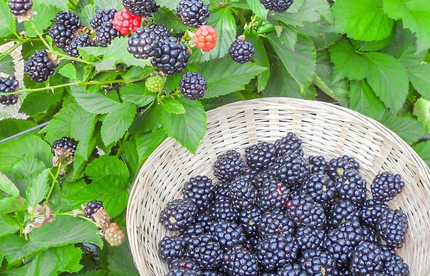 Як вирощувати ожину, щоб отримати приголомшливий урожай 1