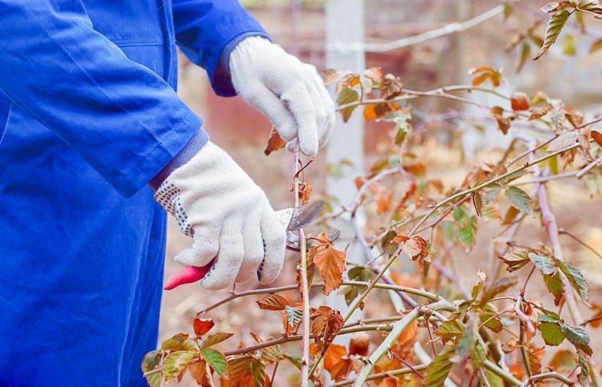 Як вирощувати ожину, щоб отримати приголомшливий урожай 2