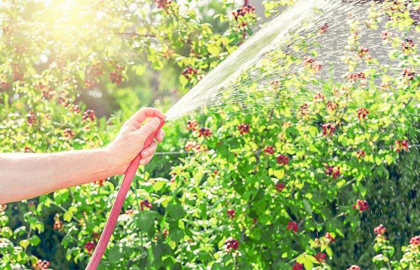 Як вирощувати ожину, щоб отримати приголомшливий урожай 3