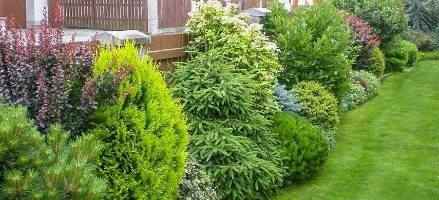 Хвойні в дизайні саду: оригінальне оформлення ландшафту