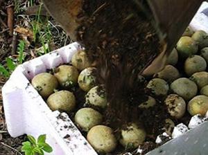 Проращивание картофеля перед посадкой комбинированным способом