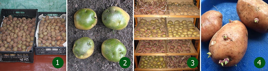 Сухой способ подготовки картофеля к посадке