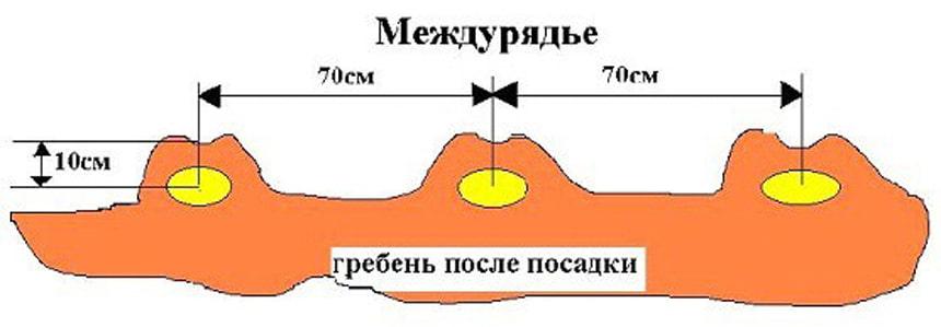 Схема посадки и глубина заделки клубней